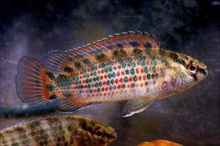 Burmese Badis ML